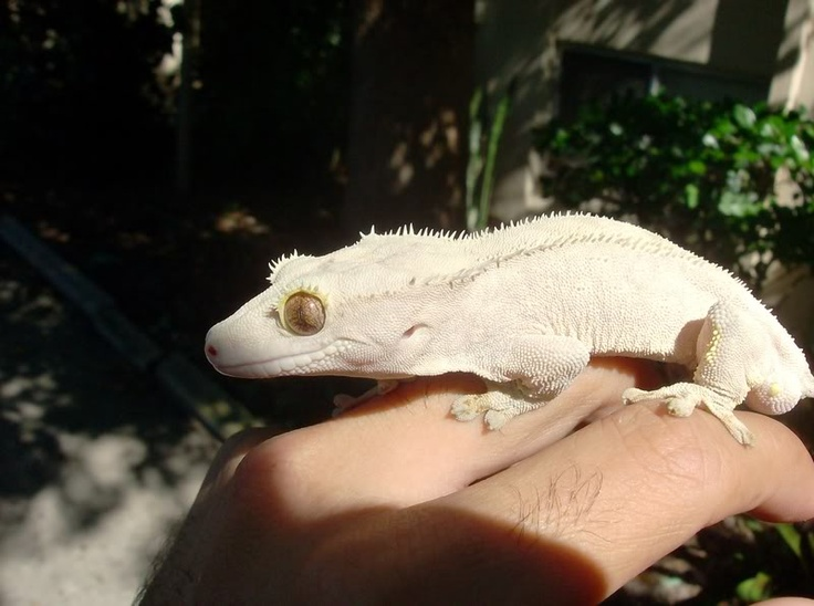 Moonglow Crested Gecko <3 so cute!