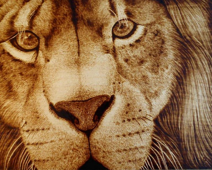 Lion Face Drawing by Cara Jordan
