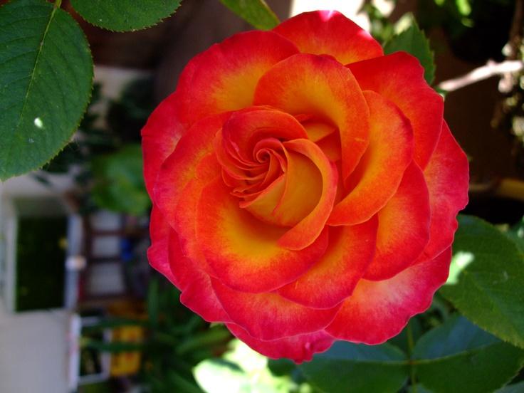 Fleur De Madagascar Wikipedia Idee D Image De Fleur