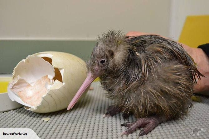 A freshly-hatched baby kiwi at Auckland #Zoo. Celebrate ...