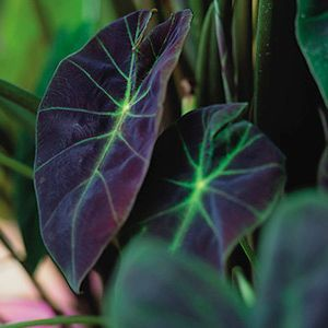 Striking Contrast in color. Love this garden thriller!   Colocasia esculenta 'Illustris' -- Elephant Ear