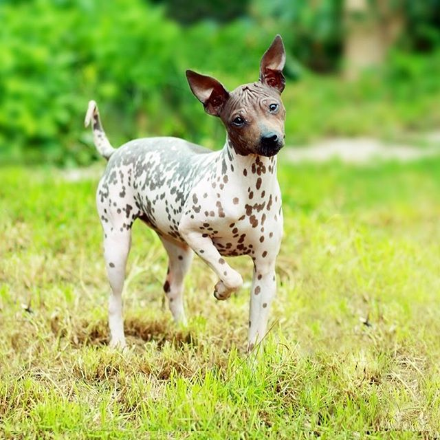 The American Hairless Terrier is an affectionate, playful dog, who also tends to be fearless and feisty. The breed is an obvious favorite of allergy sufferers and are the first hairless dog breed to have originated in the United States.