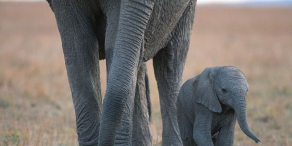 petition: Urge The North Carolina Legislature to Ban The Sale of Ivory and Rhino Horns To Protect Endangered Wildlife!