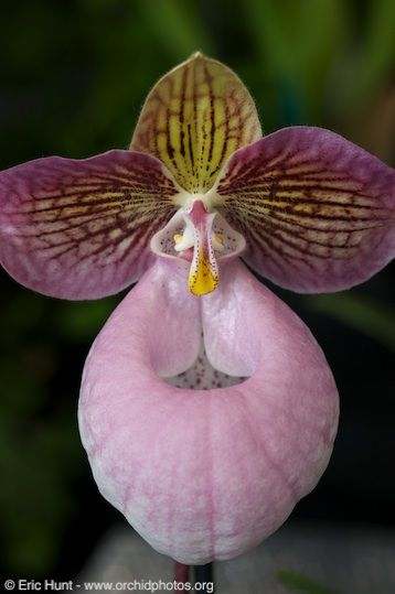 Lady Slipper-orchid: Paphiopedilum micranthum - © Eric Hunt, All Rights Reserved