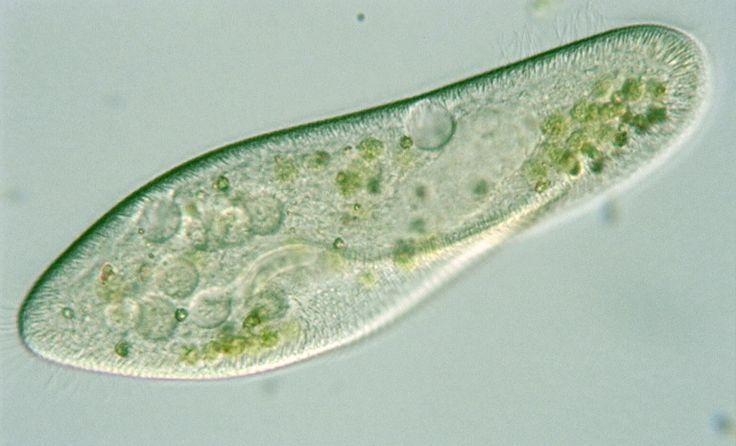Paramecium Caudatum Under A Microscope paramecium | Parameciu...