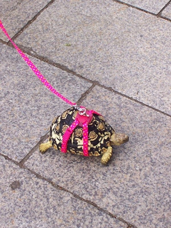 i would so walk my turtle if I had one... could take a while though :)