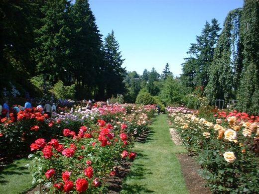 Rose Garden in Portland, Oregon (The City of Roses)