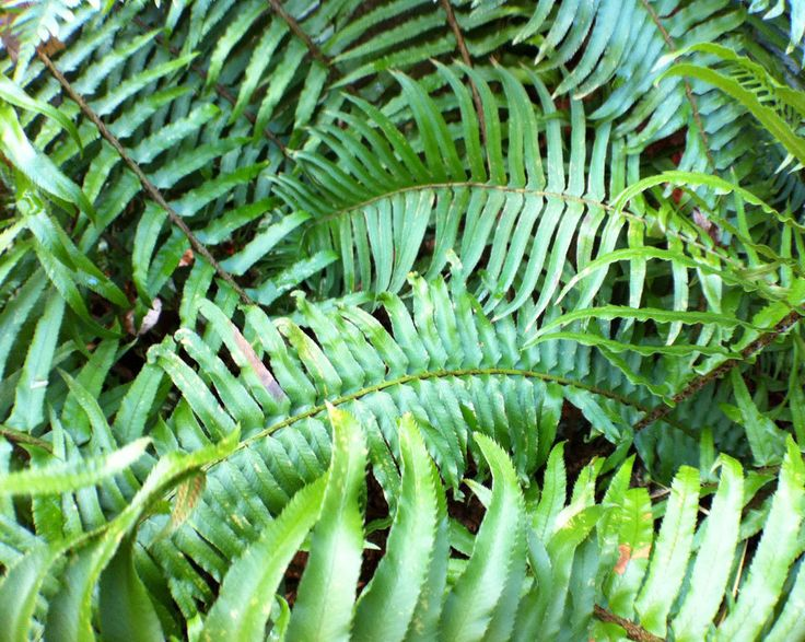 How To Prune: Evergreen Ferns U0026 Evergreen Groundcovers