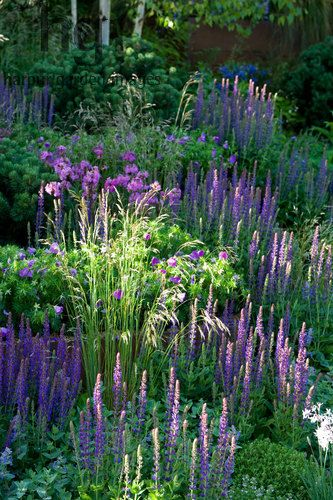 Harpur Garden Images Ltd :: Marcus Harpur . A slope with dense planting of colourful purple blue perennials and grasses including salvia nemorosa. Silver-Gilt medal Design: Patrick Collins, Sponsor: St George's Hospital and Medical School