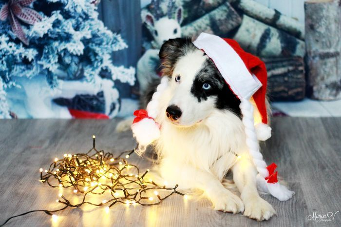 Ready and waiting for christmas! @yummypets #tobby #bordercollie