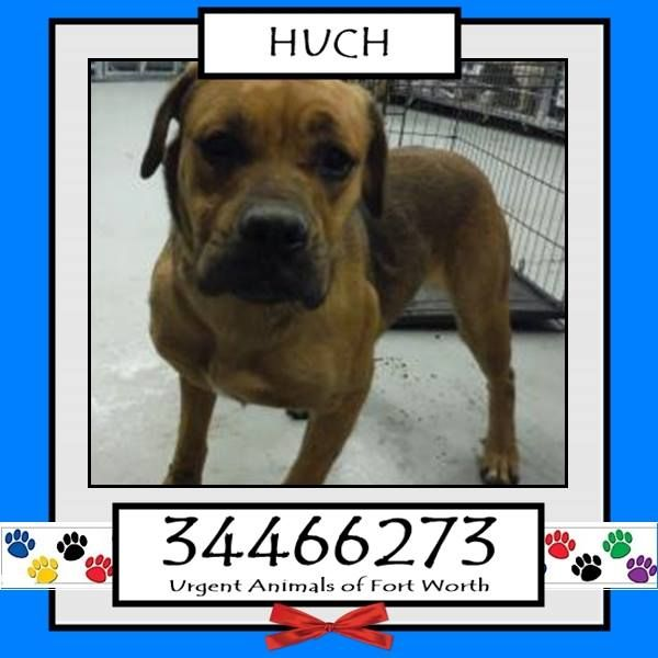 TO BE DESTROYED 03/11/17 ***REASON: MEDICAL***  HUCH - 4 years old - Staffordshire Bull Terrier Mix - 34466273 - Heartworm Positive, Upper Respiratory Infection, Temperament - #34466273 - FOR MORE PICS, VIDEOS & INFO: http://www.dogsindanger.com/dog/1486933022630