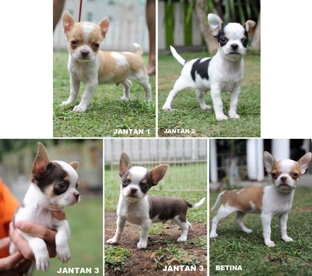 Jual Anjing Chihuahua - Anjing Dijual - AnjingKita.Com  http://www.anjingkita.com/wmview.php?ArtID=21274