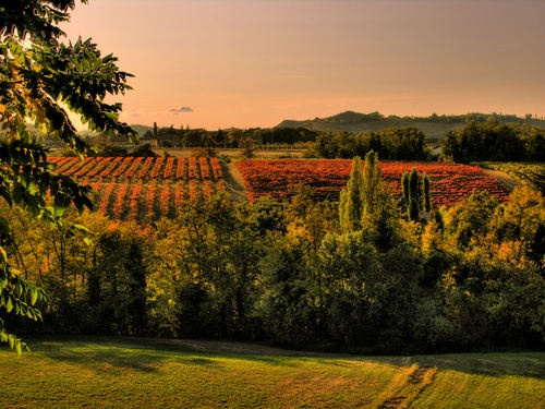 Vineyard in Maranello Modena, Italy.