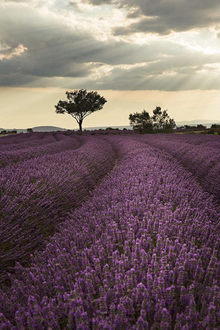 Les 25 meilleures id es de la cat gorie champs de lavande sur pinterest champs champs de - Plants de lavande a vendre ...