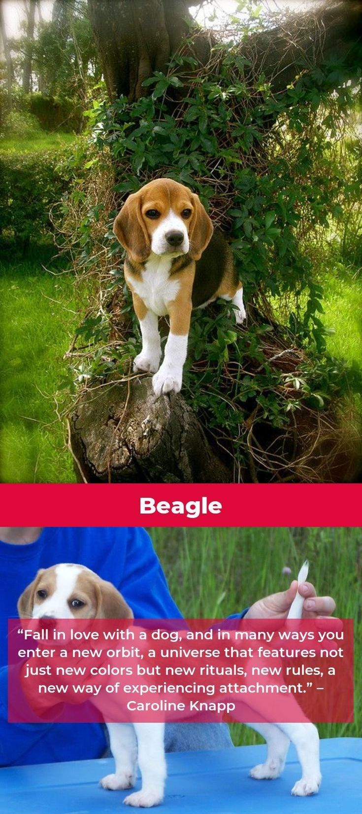 Beagle Puppies Beaglegram Beagles Dog Beagle Beagle Puppy