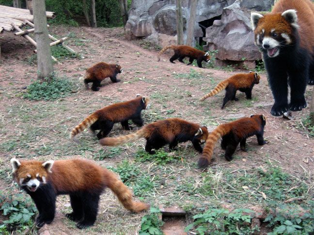 Mom And Babies Red Panda Pinterest The O Jays Lets