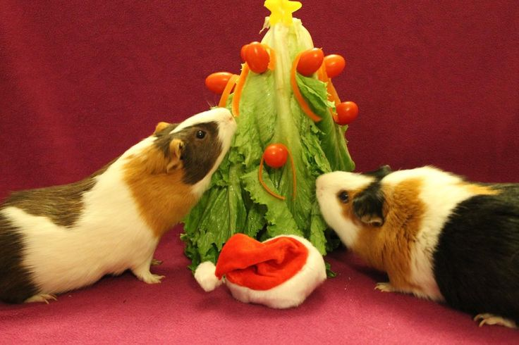 Two guinea pigs with a Christmas tree! Cute! Could also make a veggie tree for rabbits