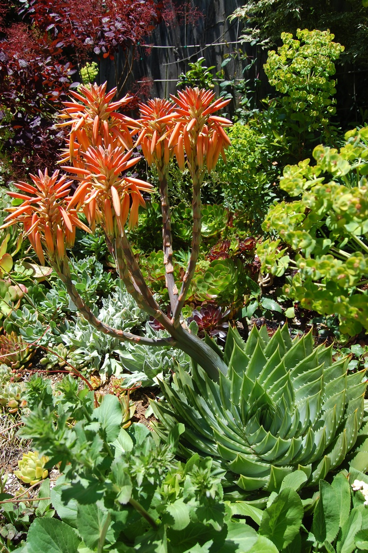 Faroutflora spiral aloe aloe polyphylla arid garden for Garden designs in south africa