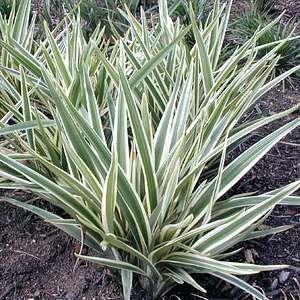 DIANELLA caerulea 'Silver Streak' Plants4Perth - online nursery