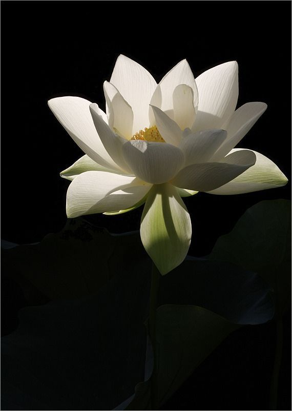 Pin By Fiona ஜ On Beauty The Black White Lotus Flower