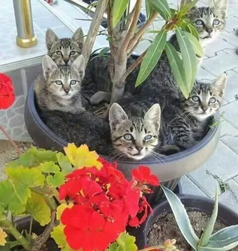 Kitten plant: where can I buy one and how long after planting, will it take to grow kittens?