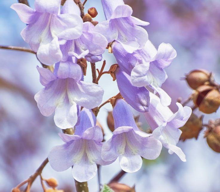 Wenn der Blauglockenbaum ab Ende Mai seine großen blauen Blütenrispen zur Schau stellt, ist ihm die Aufmerksamkeit Ihrer Gartenbesucher sicher.