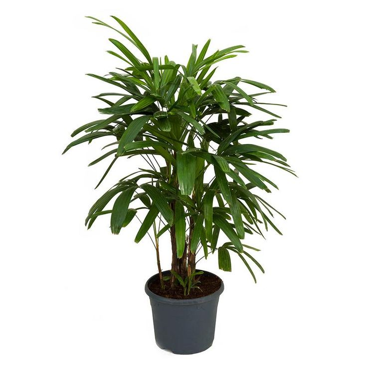 Rhapis Excelsa Lady Palm Air Purifying Plants Indoor Trees Indoor Palms