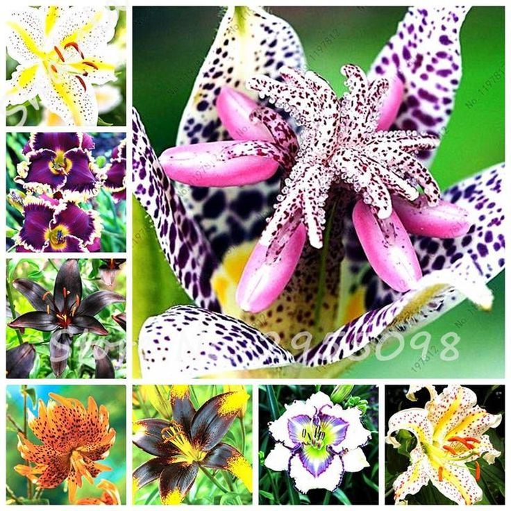 Cheap Lily Seeds, Buy Quality Perfume Lily Directly From China Diy Garden  Suppliers: Promotion!