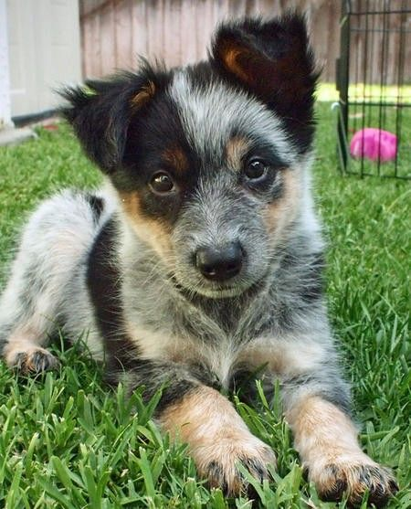 Australian cattle dog! This is moms puppies face and expression to a t, except she is black.