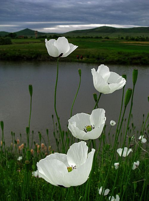 White poppies are so sweet, yet elegant.: