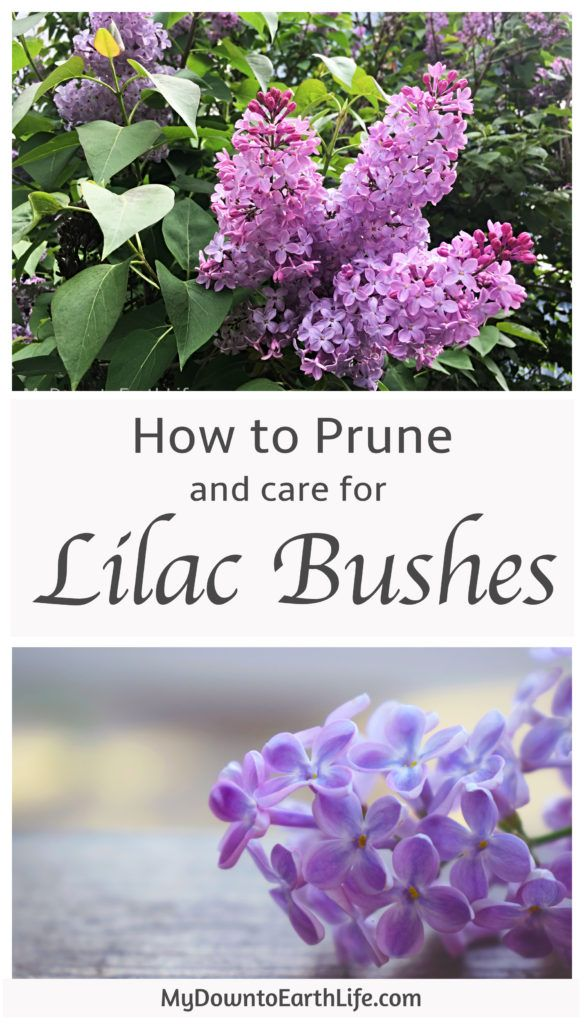 How To Prune And Care For Lilac Bushes Lilac Bushes Lilac Plant Prune Lilac Bush