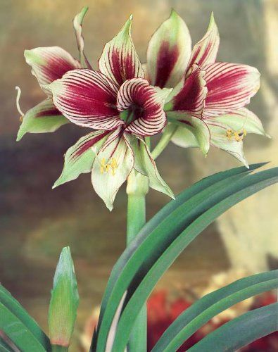 17 best images about plants poinsettia on pinterest the for Bulbes amaryllis conservation