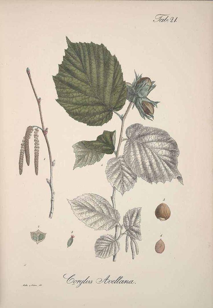 ヘーゼル common hazel,  Corylus avellana  Krebs (1826)