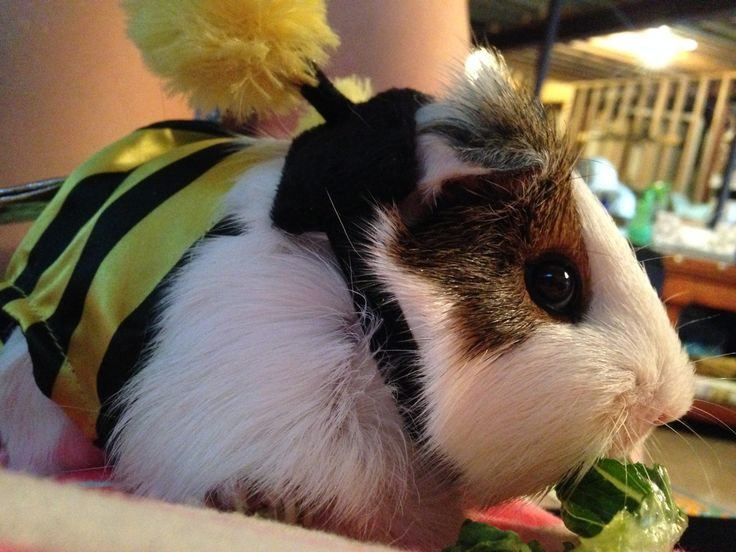 17 best images about random awesome guinea pig stuff on for Free guinea pig stuff