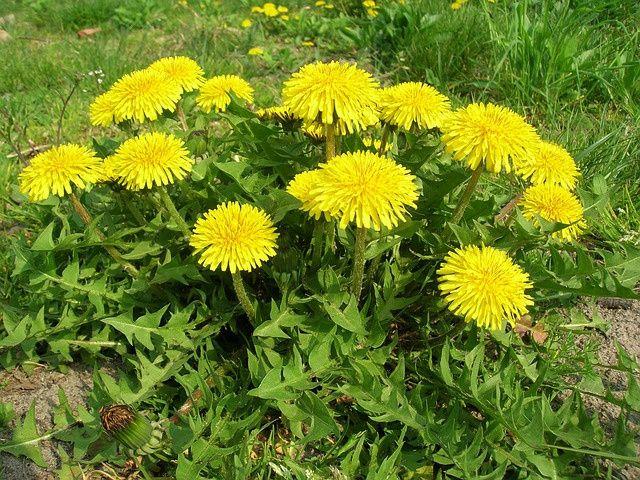 """Isteni+finom+és+egészséges+mézet+készíthetsz+belőle!  Nehogy+kiirtsd+a+kertedből!+A+legjobb+méregtelenítő+és+májvédő+növény,+aminek+minden+része+hasznosítható!+A+virágjából+készíts+mézet+-+illetve+""""hamis""""+mézet,+mert+ehhez+nem+kellenek+a+méhek.  200-250+virágot+1+liter+vízben+lassú+tűzön+főzzünk…"""