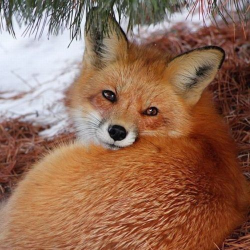 Mr Fox: He looks pretty enough to cuddle. But like others that are cute and cuddly, they will turn on you in a heart beat and will attack until the prey is dead. Looks are deceiving with animals.