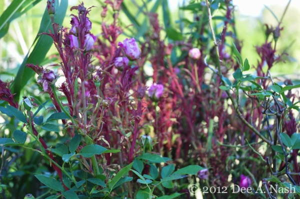Good blog in formation on this disease. 'Rose Rosette disease on 'Zephirine Drouhin' in an Oklahoma garden