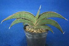S13- Sansevieria sp. Angola - Rare species -
