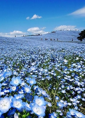 Nemophila in full bloom, Hitachi Seaside Park, Ibaraki, Japan