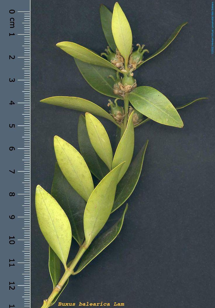 Buxus balearica Lam