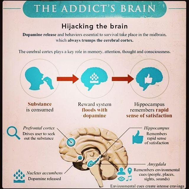 #infographic #neuroscience #neurology #science #brain #thehumanbrain #neural #thoughts #electricity #addiction #theaddictsbrain #scienceofaddiction #hacking #hijack #cortex #hippocampus #amygdala #senses #processor #serotonin #dopamine #knowledge #system #information #photo