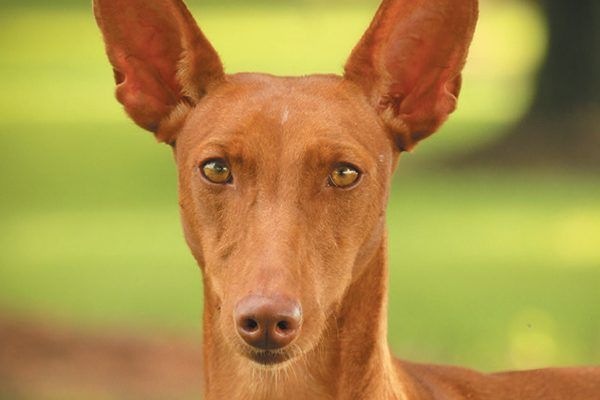 The Cirneco Dell Etna Is A Small Short Haired Chestnut Red Colored Sighthound That Was Used In Sicily To Hunt Rabbits The Man And Dog Hunting Dogs Dog Love