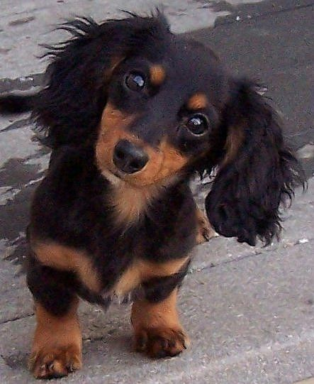 They come in different colors. | Why Dachshund Puppies Should Be Your New Favorite Puppies