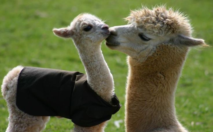 Alpaca love their crias!