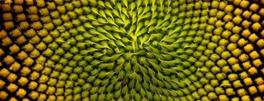 Detail of the inside of a sunflower - There's a minor myth about sunflowers: It's said that during the course of the day, a sunflower turns to follow the sun, so that the plant's open petals are always exposed to maximum sunlight. That phenomenon is called 'heliotropism' and it is common in many plants. Immature sunflowers do exhibit heliotropism, but by the time the plant is in full bloom, as seen in this photo, that behavior stops. Do you eat roasted sunflower seeds whole (shell and all)?