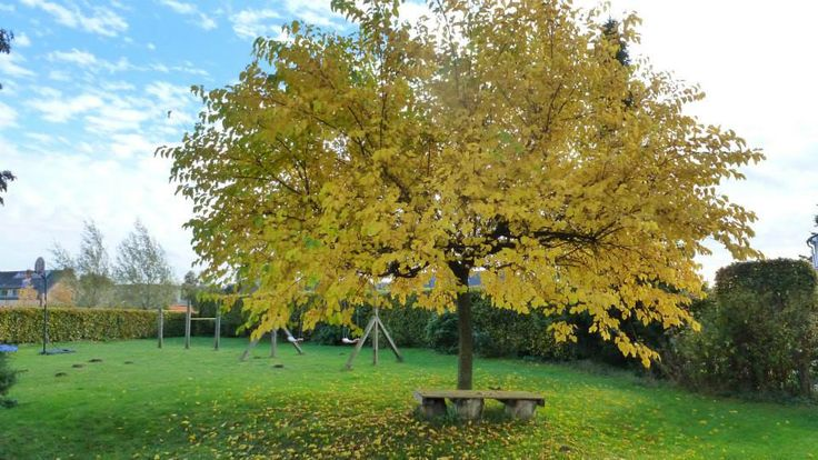 Autumn with the golden leafs of the mulberry.