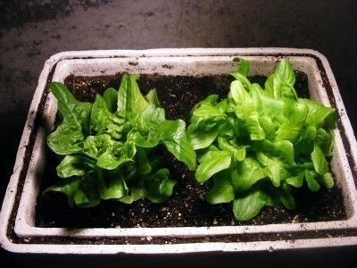 Indoor Lettuce Plants – How To Grow Lettuce In The Home
