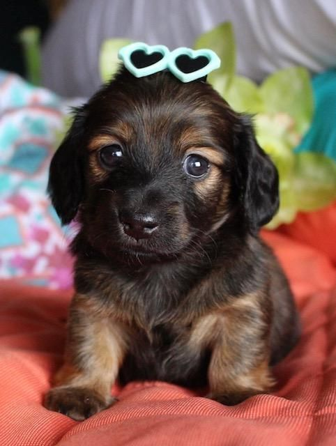 Mini Dachshund Puppies For Sale In Texas Muddy River Dachshunds Dachshund Puppies Dachshund Breed Clever Dog