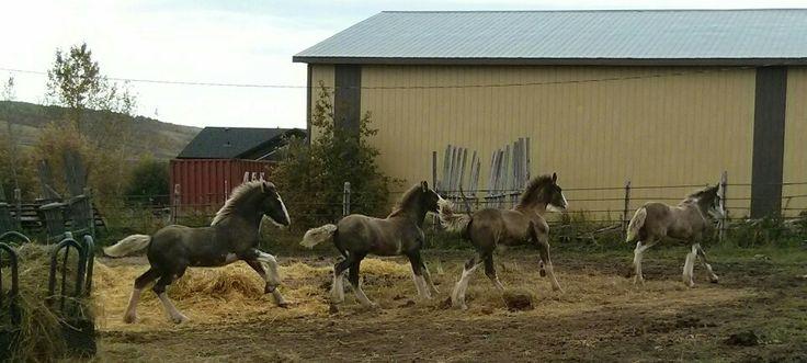 Weaning day at Battle River Ranch Clydesdales, Marsden, Saskatchewan.