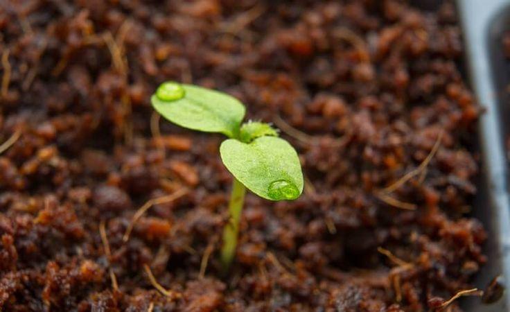 Vypěstujte si Kiwi u vás doma. Je to tak snadné, jako klasické pěstování rostlin. Zde je moje tajemství - Strana 2 z 2 - EZY - Víme jak
